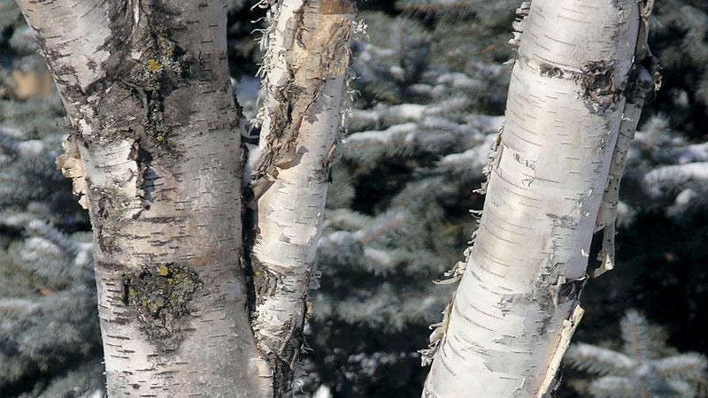Common Birch Tree Pests Canada S Local Gardener Magazine